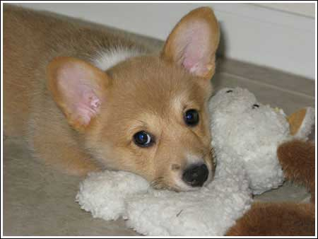 Pie photo to come. For now, here's a cute corgi pup.