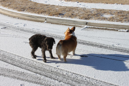 corgi meets a friend