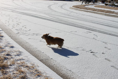 corgi in the snow